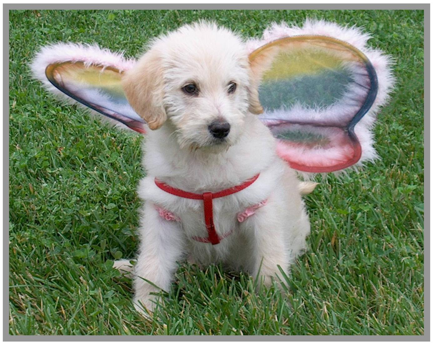 photo of doodle wearing angel wings